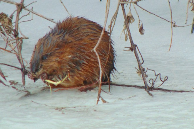 A short while later we saw this muskrat, eating bark while sitting on the ice. I'm definitely glad I'm not a muskrat!