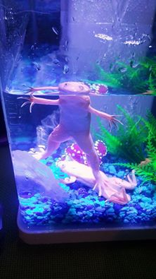 albino-clawed-frogs