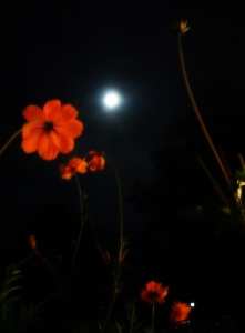 poppies-and-full-moon