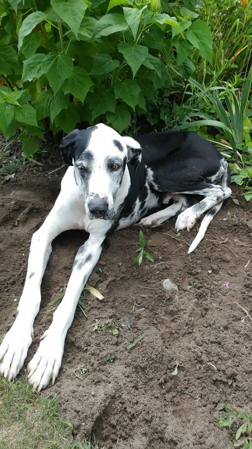 Great dane in the garden
